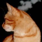 Carattere felino