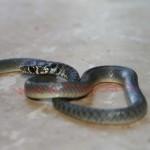Occhio da serpentello