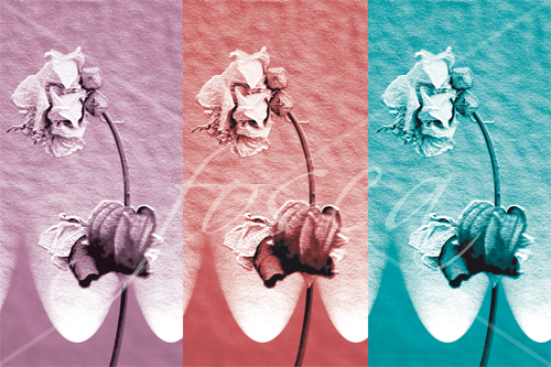 rose_multicolor